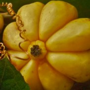 Garcinia Cambogia can burn fat